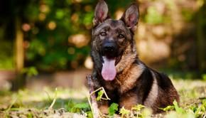 german shepherd dog outdoors