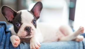 Puppy Terrier