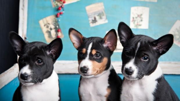 Three terriers