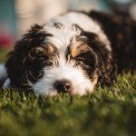 Non-Shedding Dog Breeds